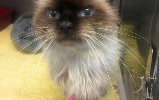 Logan the Siamese Cat Rescued